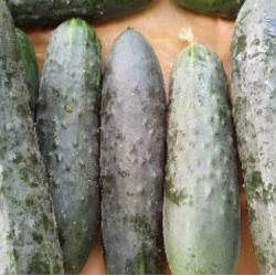 concombre long primeur
