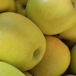 pomme golden maraichage