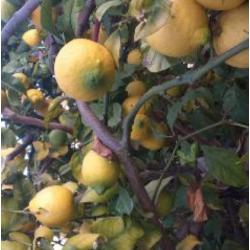 Gros Citrons Bio